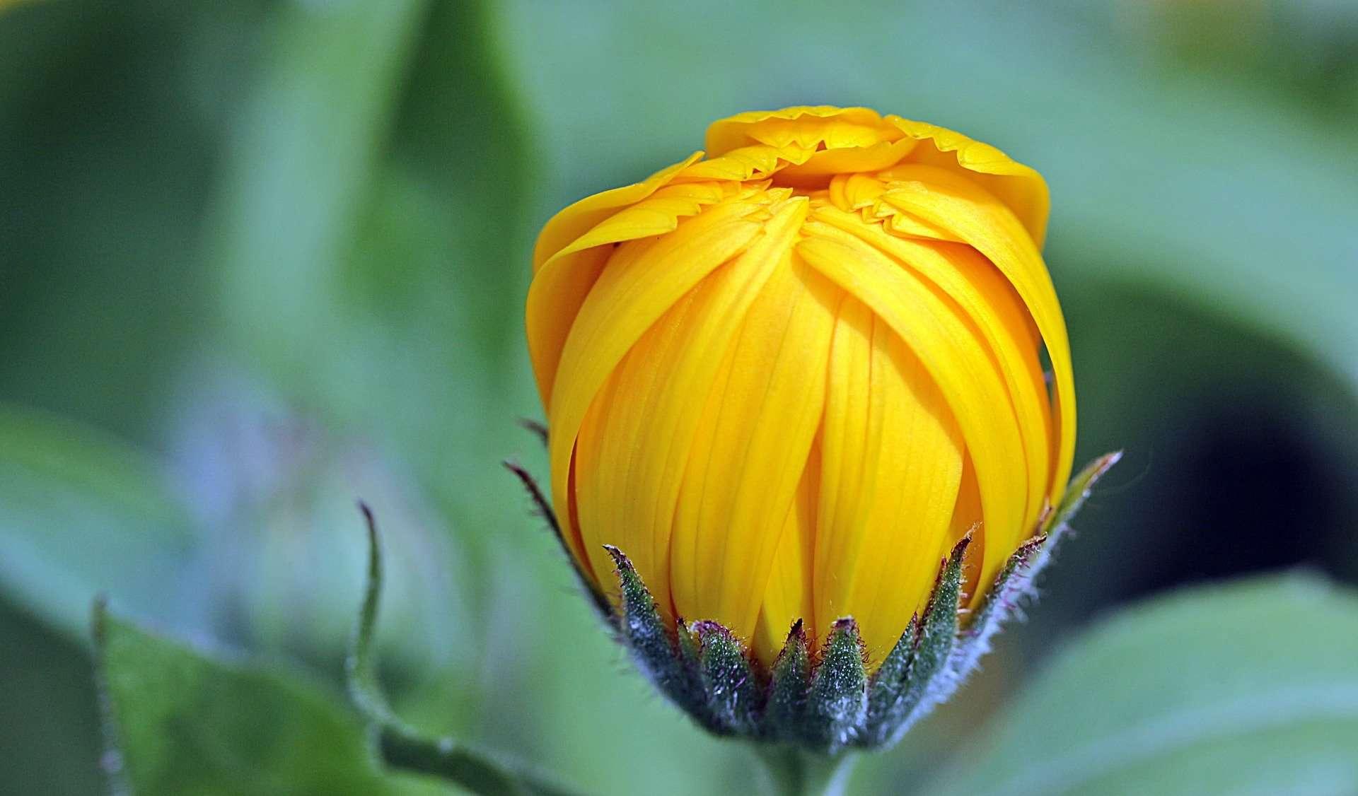 marigold-1503876_1920 Myriams-Fotos | Pixabay